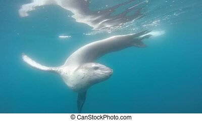 Leopard seal under water in Antarctica