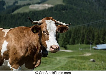 Funny cow in the mountains of northern Romania