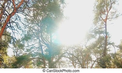 forest pine tree tops in blue nature sky felling of timber...