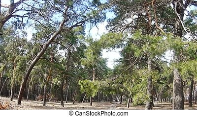 pine forest tree tops in blue sky landscape nature - pine...
