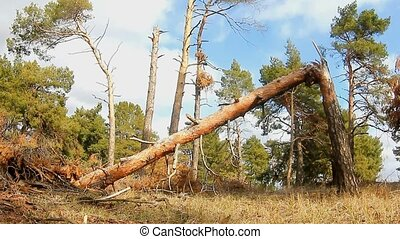 forest pine broken tree tops in blue nature sky felling of...