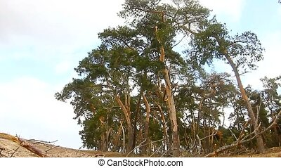 pine forest tree tops in blue sky nature dry twig landscape...