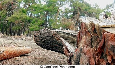 forest broken tree pine tops in blue nature sky felling of...