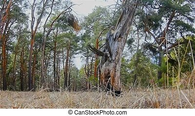 pine forest tree tops landscape in blue sky nature felling...