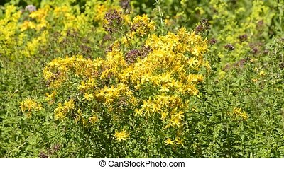 St Johns Wort,Hypericum perforatum, medicinal plant with...
