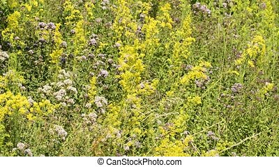 olorful meadow with herbs - Colorful meadow with Oregano and...