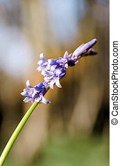 BLuebell - Woodland bluebell