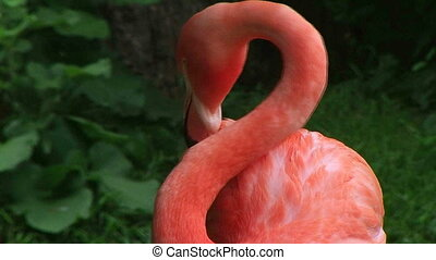 American Flamingo Grooming - American flamingo grooming its...