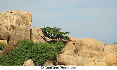 Pine forest tree by the sea - Pine forest tree on the rocks...