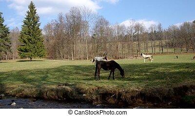Herd of horses graze on the riverside