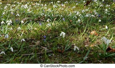 Snowdrops in park in spring on green grass