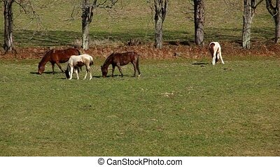 Four horses graze on a meadow