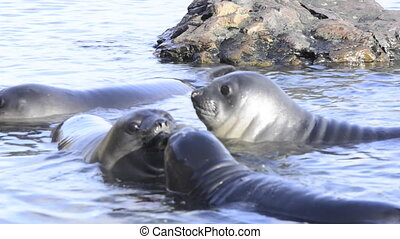 Young elephant seals plaing  in the water South Georgia