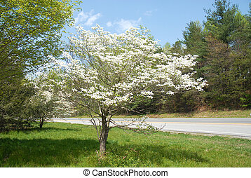 Dogwood Tree in Bloom in South Carolina