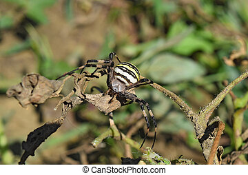 Argiopa spider crawling on the dry grass - Argiopa Spider on...