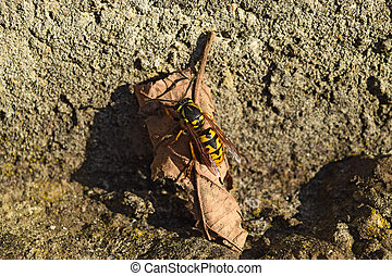 The female wasp common after hibernation. Wasp basking in...
