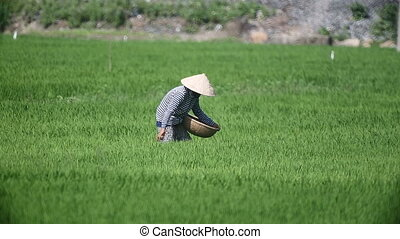Vietnam farmers harvest rice - Vietnam farmers harvest rice....