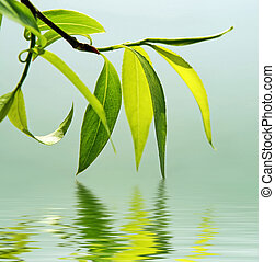 fresh green leaves reflected in water - green branch of a...