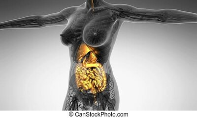 science anatomy of human body in x-ray with glow digestive...