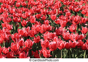red tulip at spring on Earth