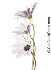 osteospermum - Studio Shot of White Colored Osteospermum...