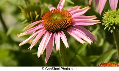 Purple coneflower,Echinacea purpurea, medicinal plant with...