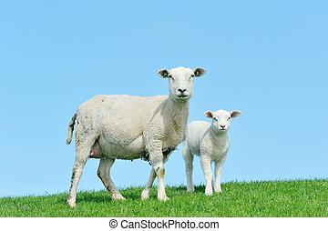 madre, sheep, ella, cordero, primavera