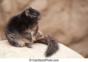 cute Rock squirrel (Spermophilus variegatus)