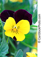 Pansy - Colorful yellow and purple viola/Johny-Jump-Up....