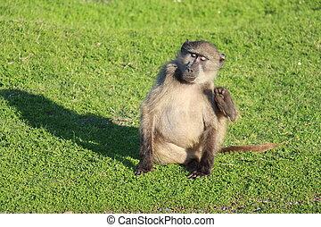 Der chillende Pavian - Ein junger Pavian sitzt im Gras und...