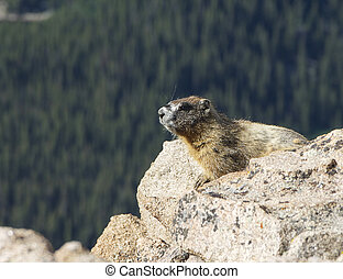 Marmot on Rocks - A marmot soaking up the sun on the rocks