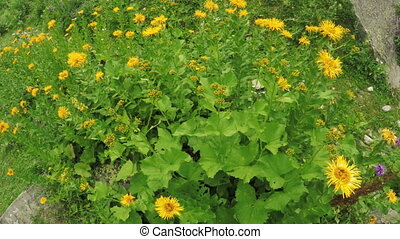 Calendula officinalis in an alpine meadow - Camera on...