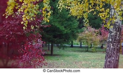 Autumn park with yellow birches, dry herb and some red tree....
