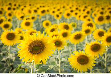 Sunflowers full bloom - Field of sunflowers full bloom