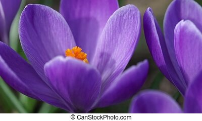 Purple snowdrop macro shot. Slow motion. - Beauty purple...