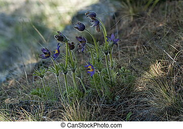 Pulsatilla vulgaris flowers at spring in mountain Balkan,...