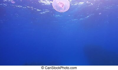 Beautiful Jellyfish Floating Among Coral Reef, underwater...