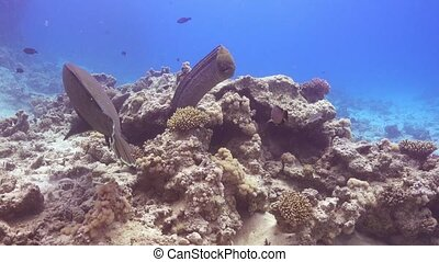Napoleon Fish and Moray on Coral Reef, underwater scene