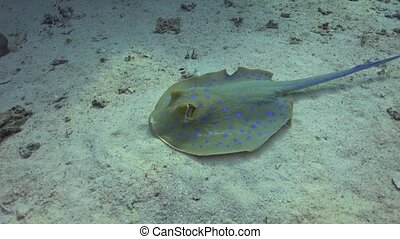 Blue Spotted Stingray on Coral Reef, underwater scene
