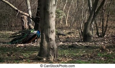 Peacock in the nature