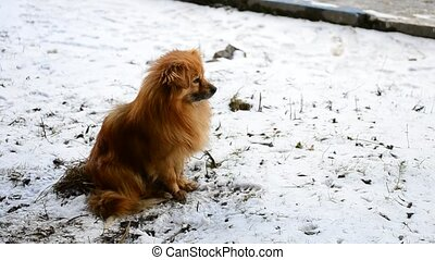 Red haired fluffy dog sits on snow and looks into distance,...