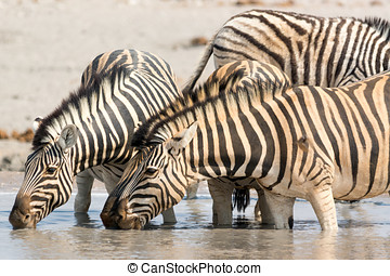 Zebras drinking water at waterhole, seen and pictured in...