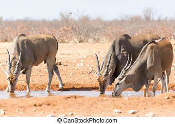 Eland near waterhole, seen and pictured in several national...