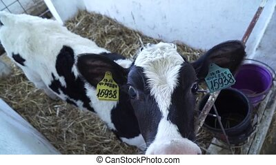 Barn calf. Cows on russian Farm - Cows and Barn calf on Farm