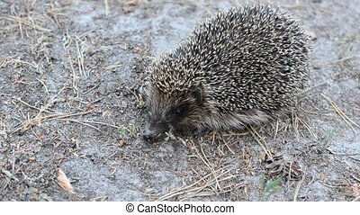 Hedgehog in forest - Hedgehog stands still in a forest