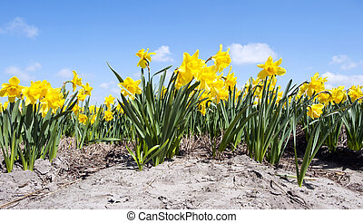 Daffodil Flower bed - Many daffodils in a flowerbed on a...