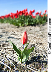 Single Tulip - A small, solitary tulip with a huge flowerbed...