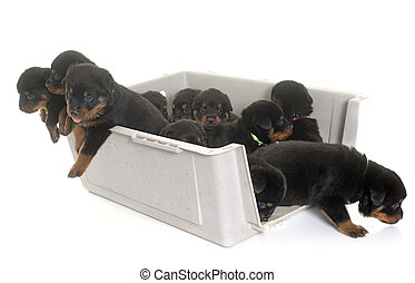 young puppies rottweiler in kennel in front of white...