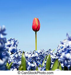 Single tulip - A single red tulip in a field of blue...
