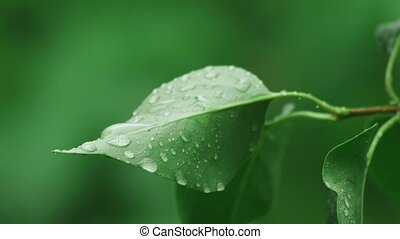 Lilac leaves with raindrops - lilac leaves with raindrops...